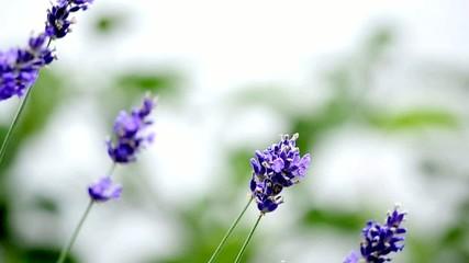 Lavendel, Blüte, Nahaufnahme