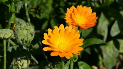 Ringelblume und Ringelblumenölherstellung