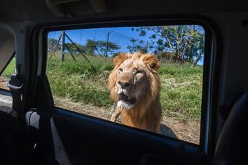 Lion Hunter Danger