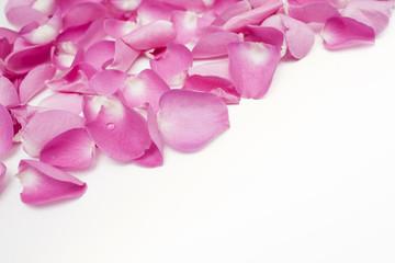 dark pink petal rose flower isolated on white