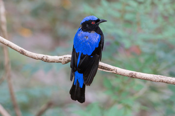 Male Asian Fairy-Bluebird (Irena puella)