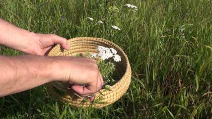 harvesting pick wild medical flower Achilea common yarrow