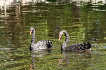 Pareja Cisnes Negros