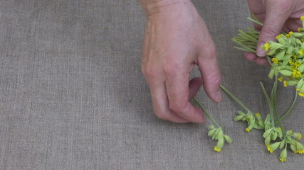 herbalist put fresh cowslip medical flowers on linen cloth