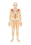 Skeleton. Vector flat illustration
