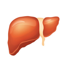 Vector liver illustration