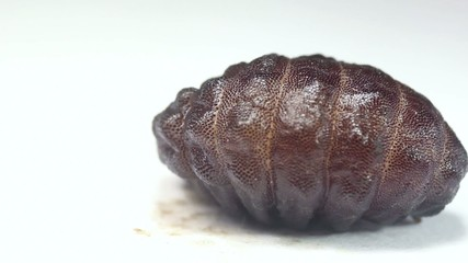 Larva of a rodent bot fly (Cuterebra sp.).