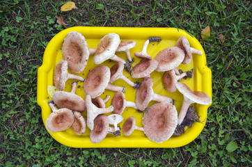 tray full of mushrooms ( Lactarius torminosus) on grass