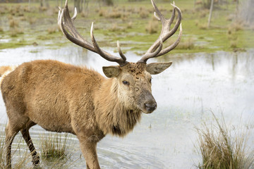 Ciervo en Salburua parque, Vitoria (España)
