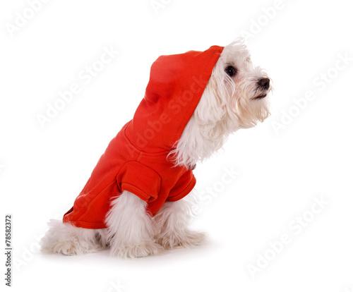 Kleiner weißer Hund in rotem Anzug