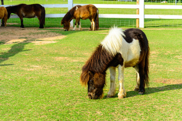 Brown pony grazing in the farm