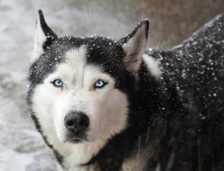 Portrait of dog husky