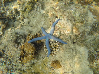Sea Star Fish