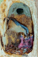 Nuthatch feeding its young in its nest inside a tree trunk