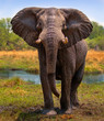 Alert elephant ready to charge