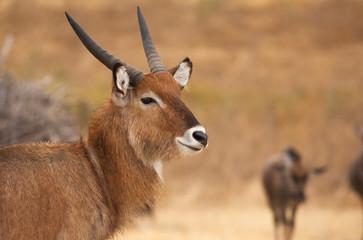 African springbok