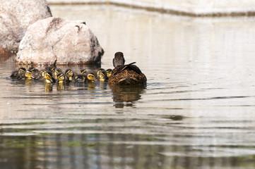 Family of Wild ducks, Anas platyrhynchos