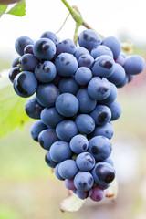 Grappolo d'uva nera.