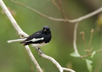Oriental Magpie-Robin in Jhirna Forest