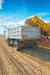 loadding potato in tipper on harvested filed