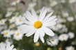 canvas print picture - Blüte einer Margerite