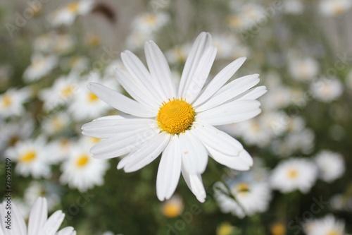 canvas print picture Blüte einer Margerite