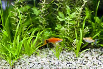 Aquarium Swordtail and Molly; focus on Swordtail