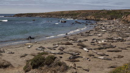 4K Time lapse of a huge colony of elephant seals
