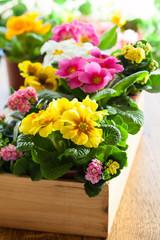 Primula in flower pot