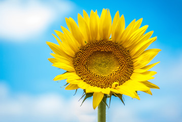 sunflower on background of clouds and blue sky