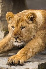 Jonge leeuw rekt uit.