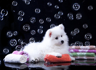 Japanese Spitz puppy and  bubbles