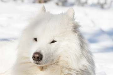 Portrait of the white Samoyed in the winter