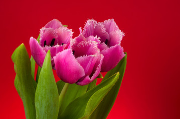 three tulips on red