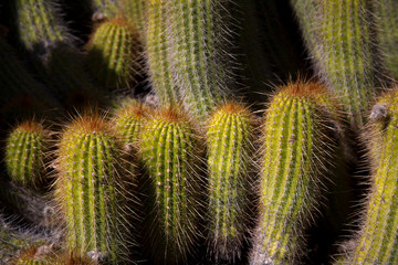 Grouping  of desert cactus Close-up