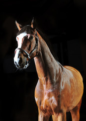bay horse stallion portrait on the black background