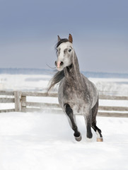 grey arab horse runs free in winter snowy field