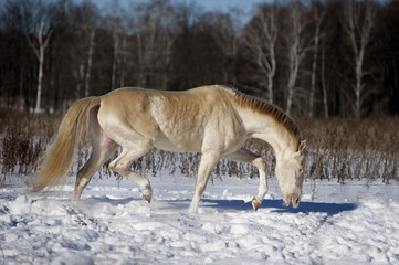 perlino akhal-teke stallion in snow