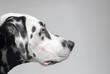 Confident purposeful Dalmatian dog - 78604310
