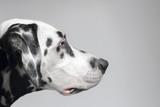 Confident purposeful Dalmatian dog
