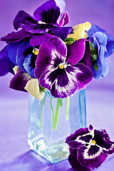 beautiful purple pansy flowers on a colorful background
