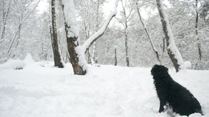 Black dog sitting in snow in forest