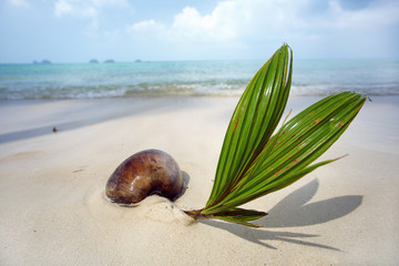 Young coconut on the beach.