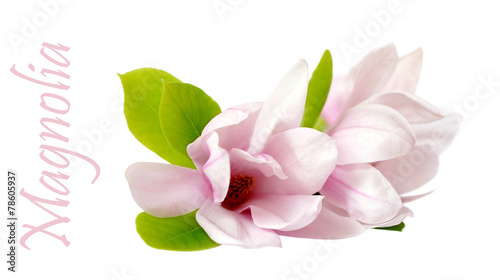 Foto op Plexiglas Magnolia Japanese magnolia