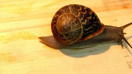 Big garden snail  on a wooden surface