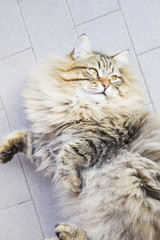 male of siberian cat