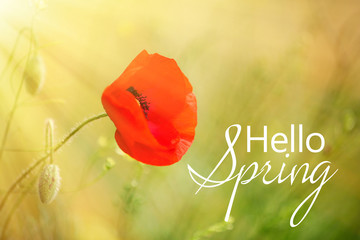 Poppy flower, outdoors. Hello spring concept