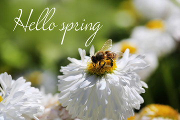 Beautiful flower and honey bee, outdoors. Hello Spring concept