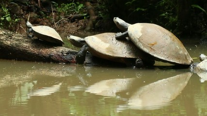 Yellow spotted river turtles (Podocnemis unifilis)