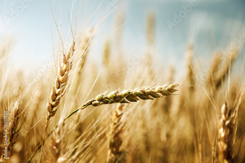 golden wheat field and sunny day - 78610538